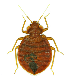 Houston Pests Bed Bugs