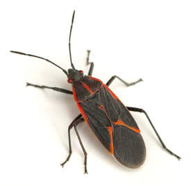 Houston Pests Boxelder Bugs
